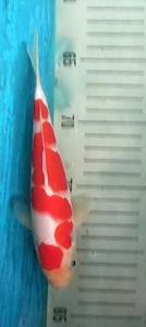 0329-Dani hendra-tasikmalaya-kampoeng kidz-malang-kohaku-19cm-male-lokal