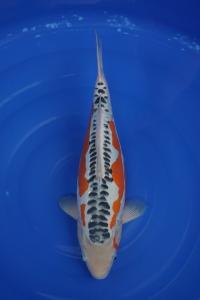 0262-heru santoso-jakarta koi center-magetan-shusui-45cm