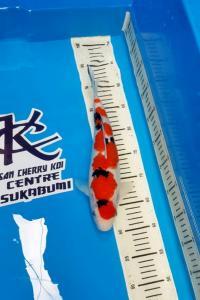 0041-Tasikigoi_tasik_SCK_Sukabumi_Sanke_32cm_lokal