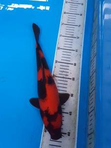 0490-samudra koi-blitar-edisu-blitar-hiutsuri-35cm-Lokal