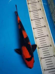 0489-samudra koi-blitar-edisu-blitar-hiutsuri-30cm-Lokal