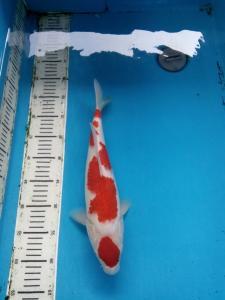 0133-ii aquarium-balikpapan-kkc, kediri, kuhaku, 38-fm
